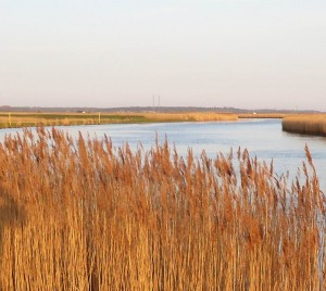 Reeds at Reedham, Norfolk Boads
