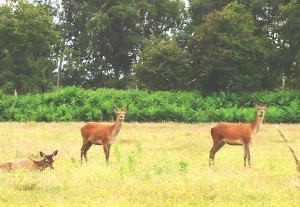 Dunwich Deer and wildlife
