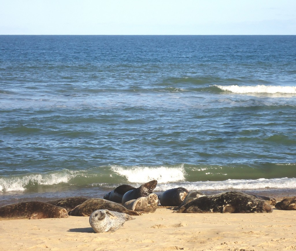 Grey Seals, Horsey Beach, Norfolk